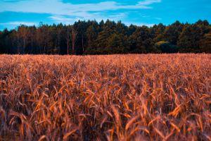 cropland pasture farm wheat field grass trees field crop plant