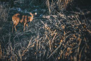 deer jungle animal