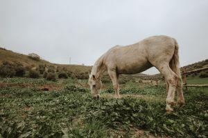 domestic animal horse field farm landscape grazing equine white horse grass mammal