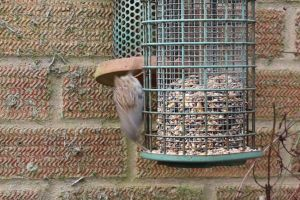 dunnock animal eats flight wall feeds
