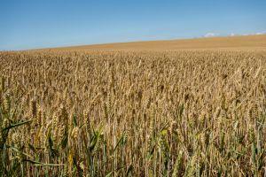 ears of corn wheat blue sky sky ripe harvest