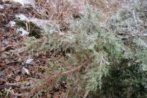 evergreen cy cedar branch winter ice