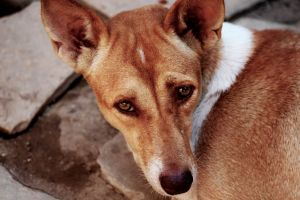 eyes portrait looking up mammal fur dog close-up pet young breed