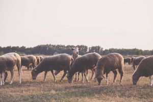 farm animals farmland landscape eating grassland pasture sheeps sunset livestock