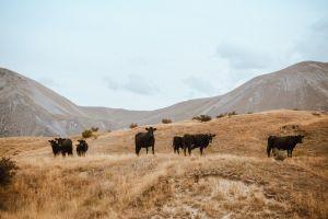 farm field mountains clouds pasture livestocks cows landscape animals daylight