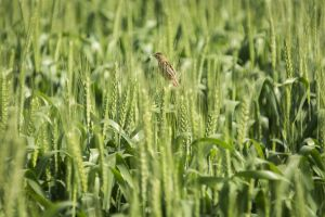 farmland growth nature grass field crop wheat field wheat farm landscape