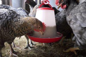 feeding animals chickens farm