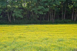 field buttercups wood flowers