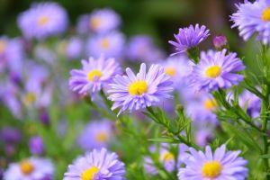 flora hd wallpaper garden daisies flowers blossom close-up growth bloom petals