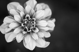 flower beautiful flowers black and white