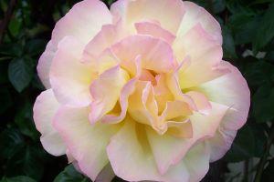 flower beautiful flowers pink flower rose