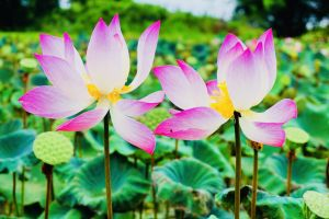 flower color park garden lotus exotic flora summer zen beautiful