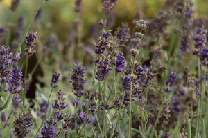 flower purple flower lavender bloom garden flower garden plant nature
