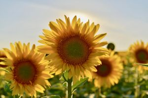 flower sun focus color close-up beautiful growth sunflowers summer bright