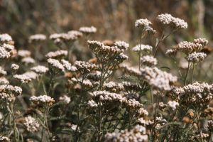 flowers nature summer yarrow