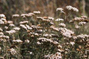flowers nature summer yarrow