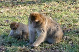 food daytime grass animals monkey macaque looking