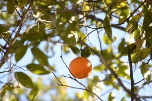 fruit tree orange hanging branch