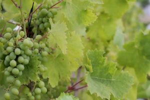 fruits vineyard green grapes fresh food
