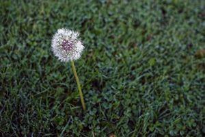 grass dandelion solitary
