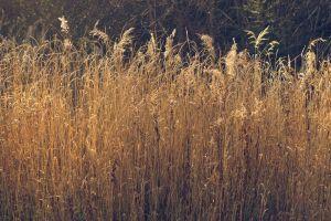 grass grain beige yellow summer