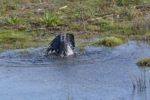 grass reflection animal black daytime crow water