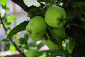 green apple green apples apple