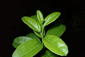 green citrus tree leave growing fruit