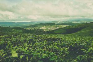green green tea vietnam nature