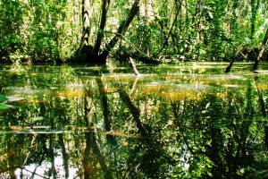green pond trees swamp
