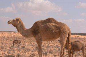 heat animals arid sand desert hot nature camels