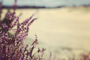 heide sandy mobilechallenge nature photography purple flower nature