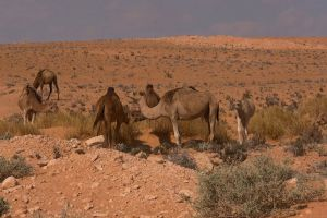 hot grass sand arabian camel animals dromedary desert