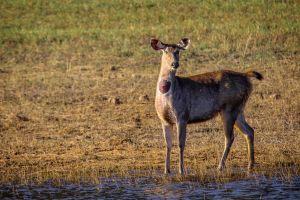 india wildlife wildlife photography deer animal