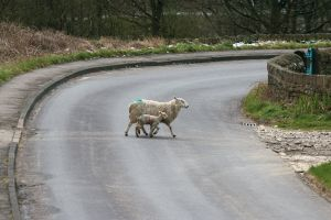 lamb crossing sheep kid road wool grass mom mum