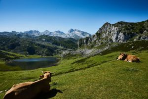 landscape nature cows outdoorchallenge livestock environment scenic daytime mountains animals