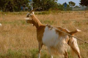 livestock farm hairy goat grass animal
