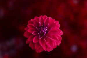 macro dahlia flower wallpaper blossom flora free wallpaper petals mac wallpaper hd wallpaper flower