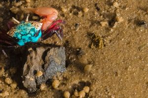 macro photography kenya beach sand beach crab turquoise