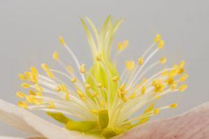 macro pistil flower blossom closeup rose spring flower hellebore close-up bloom
