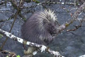 mammal animal porcupine tree branches quills spikes climb water trapped