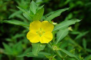 nature beautiful flowers sri lanka