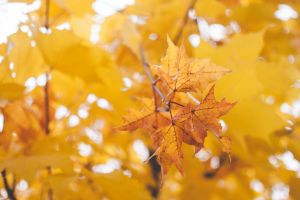 nature color maple tree bright low angle shot branch gold blur environment