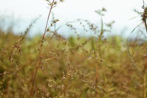 nature cornfield nikon beautiful flowers yellow green weed focus vsco