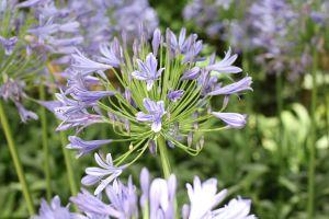 nature flower plants environment blue flower