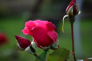 nature flowers red rose rose