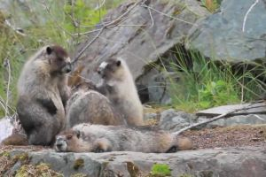 nature rocks branches family cute mammals marmots fur animals
