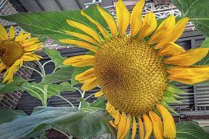 nature yellow flower flower wallpaper sun flower iphone 5s