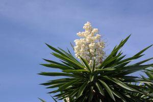 nature yucca tree flowering plant succulent plants succulents plant tree succulent flowering flower