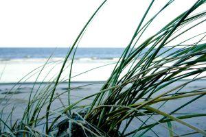 ocean beach plant